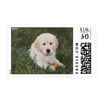 Golden Retriever Puppy Boy Postage