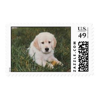 Golden Retriever Puppy Boy Postage