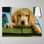 Golden Retriever Puppy Dog Canis Lupus Familiaris Print