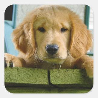 Golden Retriever Puppy Dog Canis Lupus Familiaris Stickers