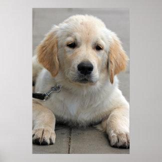 Golden Retriever puppy dog cute beautiful print