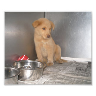 Golden Retriever Puppy in a Cage Photo Print