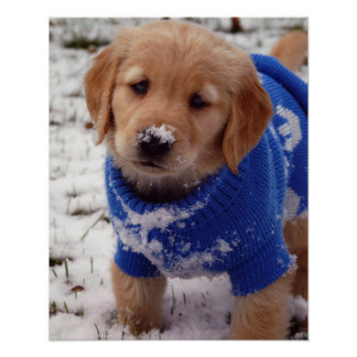 Golden Retriever Puppy Poster