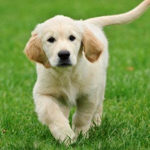 Golden Retriever Puppies Stickers | Zazzle