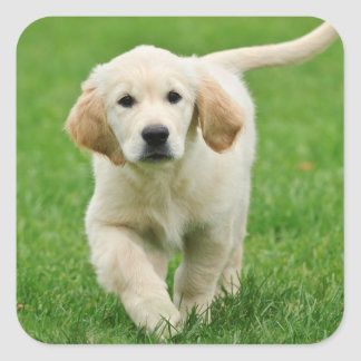 Golden retriever puppy square sticker
