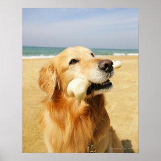 Golden retriever que come el hueso póster