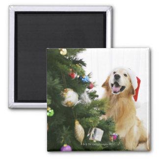 Golden retriever que mira el árbol de navidad imán cuadrado