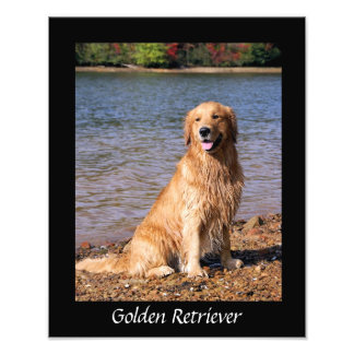 Golden retriever que sienta la impresión negra de fotografías