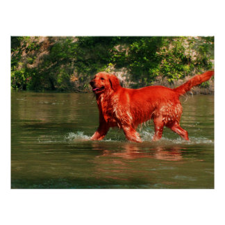Golden retriever rojo que corre en poster del agua