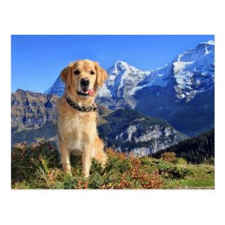 Golden Retriever Roxy in the Swiss mountains Postcard