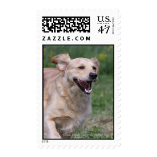 Golden Retriever Running 1 Postage