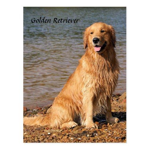 Golden Retriever Sitting Dog Postcard