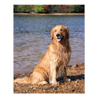 Golden Retriever Sitting Photo Print