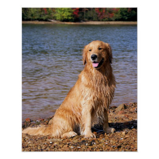 Golden Retriever Sitting Poster