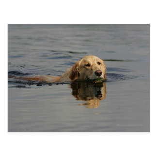 Golden Retriever Swimming Postcard