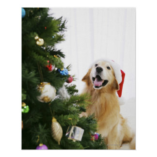Golden retriever which watches Christmas tree Poster