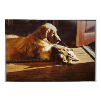 Golden Retriever With Cat Poster