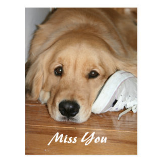 Golden Retriever With Shoe Miss You Postcard