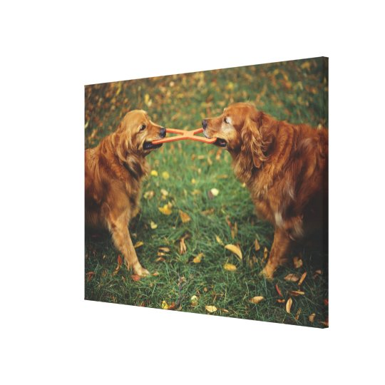 Golden Retrievers playing tug-of-war with toy in Canvas Print