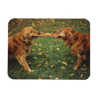 Golden Retrievers playing tug-of-war with toy in Magnet