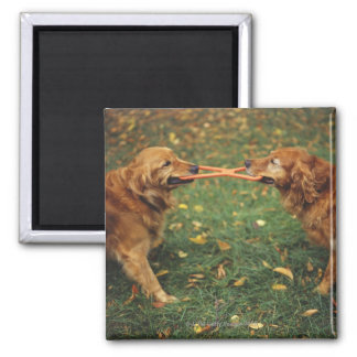 Golden Retrievers playing tug-of-war with toy in Refrigerator Magnets