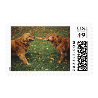 Golden Retrievers playing tug-of-war with toy in Stamp