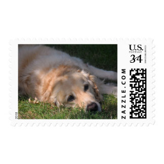 Golden Retriver Resting in the Grass Photo Postage