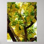 Golden Shower Tree Print