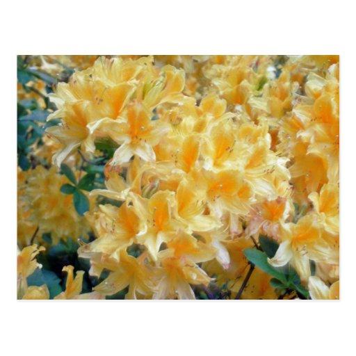 Golden Throated Yellow Azaleas flowers Postcard