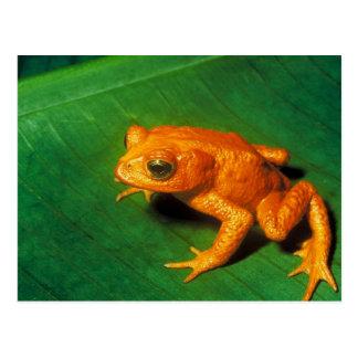 Golden Toad Postcard