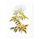 Golden Variegated Jasmine Post Card