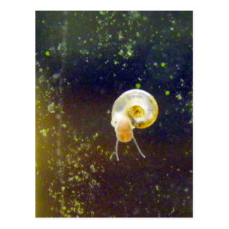 Golden Water Snail Post Card
