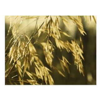 Golden Wheatgrass Fine Art Photography Postcard