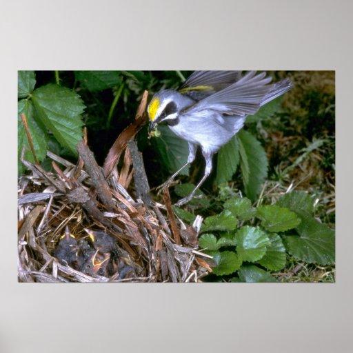 Golden-winged Warbler landing on nest Poster