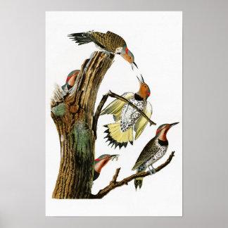 Golden-winged Woodpecker Audubon Birds of America Poster