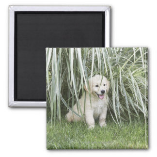 Goldendoodle puppy sitting under tall grasses 2 inch square magnet