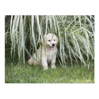 Goldendoodle puppy sitting under tall grasses postcard