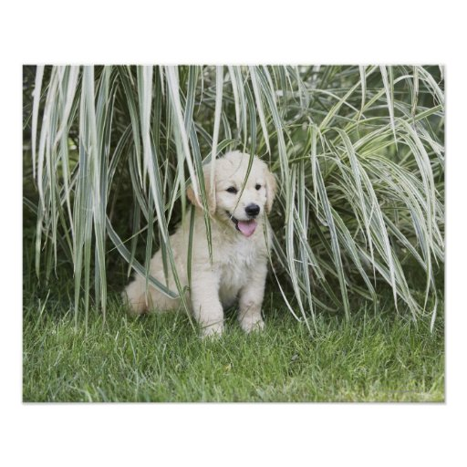 Goldendoodle puppy sitting under tall grasses poster