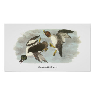 Goldeneye común Juan Audubon Posters