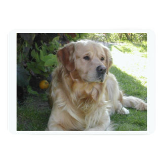 Goldenretriever laying 2.png card