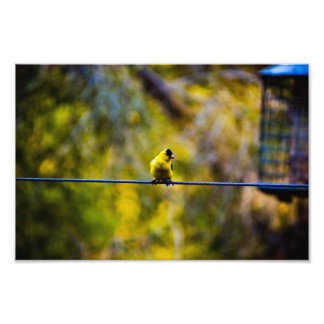 Goldfinch_1 Photo Art