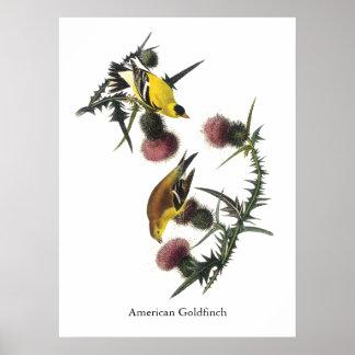 Goldfinch americano Audubon Impresiones