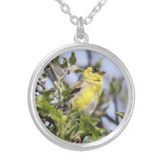 Goldfinch americano collar