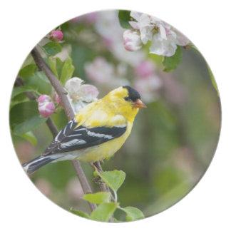 Goldfinch americano con los flores de la manzana platos de comidas