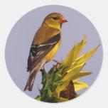 Goldfinch americano en el girasol etiqueta redonda