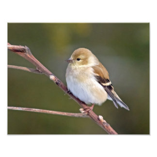 Goldfinch americano impresiones fotograficas