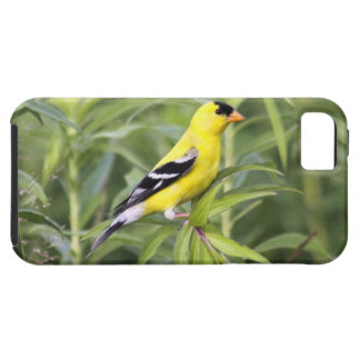 Goldfinch americano iPhone 5 protectores