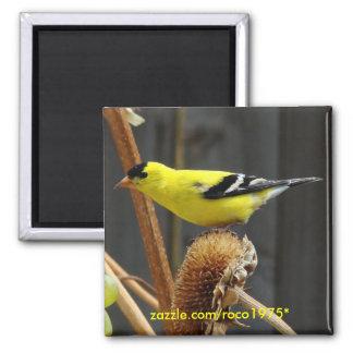 Goldfinch americano imán cuadrado