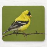 Goldfinch americano masculino en plumaje de la crí mousepads