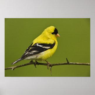 Goldfinch americano masculino en plumaje de la crí posters